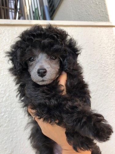 トイプードルの子犬(ID:1232711051)の3枚目の写真/更新日:2020-01-25