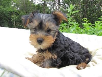 ヨークシャーテリアの子犬(ID:1232811006)の1枚目の写真/更新日:2014-06-25