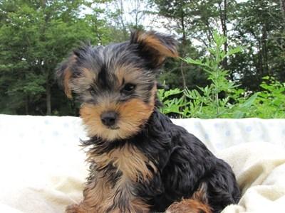 ヨークシャーテリアの子犬(ID:1232811006)の2枚目の写真/更新日:2014-06-25