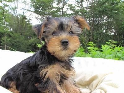 ヨークシャーテリアの子犬(ID:1232811006)の3枚目の写真/更新日:2014-06-25