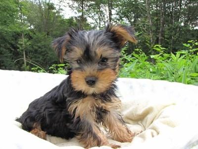 ヨークシャーテリアの子犬(ID:1232811006)の4枚目の写真/更新日:2014-06-25