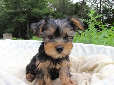 ヨークシャーテリアの子犬(ID:1232811006)の5枚目の写真/更新日:2014-06-25