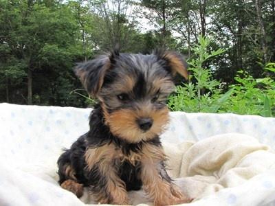 ヨークシャーテリアの子犬(ID:1232811006)の6枚目の写真/更新日:2014-06-25