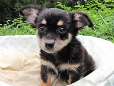 チワワ(ロング)の子犬(ID:1232811011)の1枚目の写真/更新日:2014-07-13