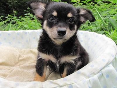 チワワ(ロング)の子犬(ID:1232811011)の2枚目の写真/更新日:2014-07-13