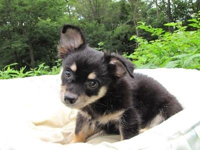 チワワ(ロング)の子犬(ID:1232811011)の3枚目の写真/更新日:2014-07-13
