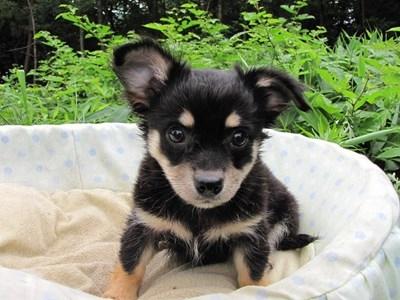 チワワ(ロング)の子犬(ID:1232811011)の4枚目の写真/更新日:2014-07-13