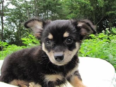 チワワ(ロング)の子犬(ID:1232811011)の5枚目の写真/更新日:2014-07-13