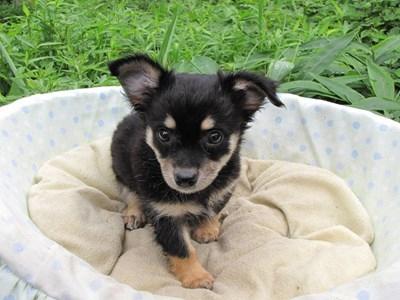 チワワ(ロング)の子犬(ID:1232811011)の6枚目の写真/更新日:2014-07-13