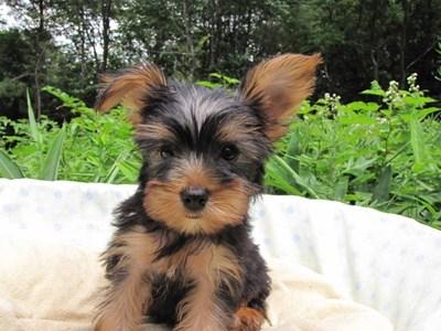 ヨークシャーテリアの子犬(ID:1232811015)の1枚目の写真/更新日:2014-07-21