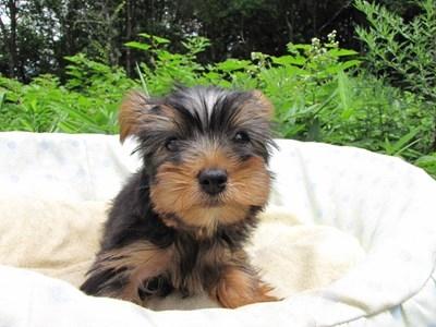 ヨークシャーテリアの子犬(ID:1232811015)の2枚目の写真/更新日:2014-07-21