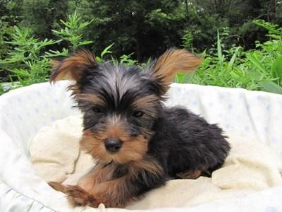 ヨークシャーテリアの子犬(ID:1232811015)の3枚目の写真/更新日:2014-07-21