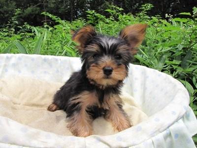 ヨークシャーテリアの子犬(ID:1232811015)の4枚目の写真/更新日:2014-07-21