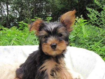 ヨークシャーテリアの子犬(ID:1232811015)の6枚目の写真/更新日:2014-07-21