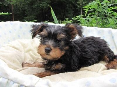 ヨークシャーテリアの子犬(ID:1232811017)の1枚目の写真/更新日:2014-07-09