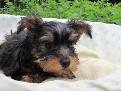 ヨークシャーテリアの子犬(ID:1232811017)の2枚目の写真/更新日:2014-07-09