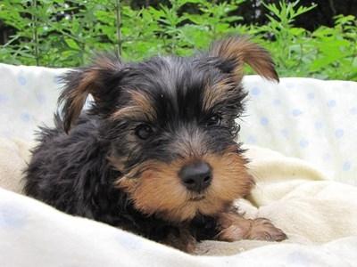 ヨークシャーテリアの子犬(ID:1232811017)の3枚目の写真/更新日:2014-07-09