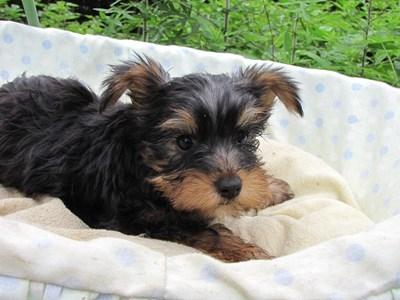 ヨークシャーテリアの子犬(ID:1232811017)の4枚目の写真/更新日:2014-07-09