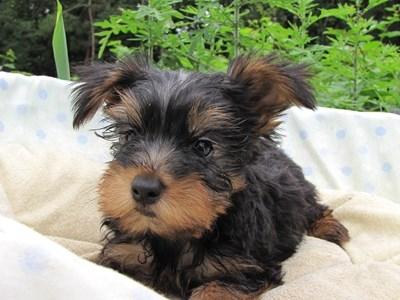 ヨークシャーテリアの子犬(ID:1232811017)の5枚目の写真/更新日:2014-07-09