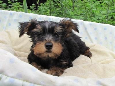 ヨークシャーテリアの子犬(ID:1232811017)の6枚目の写真/更新日:2014-07-09