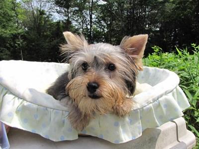 ヨークシャーテリアの子犬(ID:1232811018)の1枚目の写真/更新日:2014-06-15