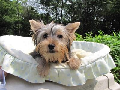 ヨークシャーテリアの子犬(ID:1232811018)の2枚目の写真/更新日:2014-06-15