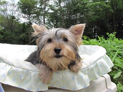 ヨークシャーテリアの子犬(ID:1232811018)の3枚目の写真/更新日:2014-06-15