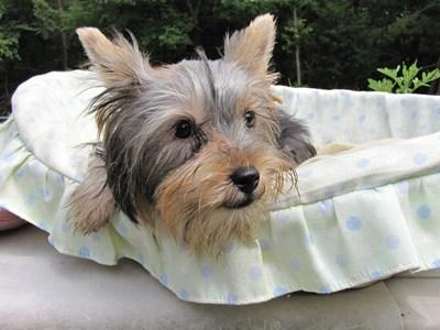 ヨークシャーテリアの子犬(ID:1232811018)の4枚目の写真/更新日:2014-06-15