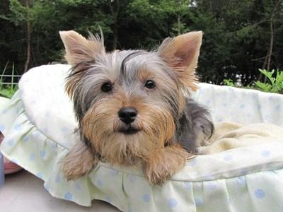 ヨークシャーテリアの子犬(ID:1232811018)の6枚目の写真/更新日:2014-06-15