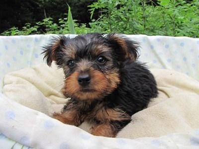 ヨークシャーテリアの子犬(ID:1232811020)の1枚目の写真/更新日:2014-07-12