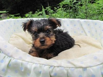 ヨークシャーテリアの子犬(ID:1232811020)の2枚目の写真/更新日:2014-07-12