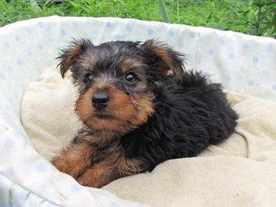 ヨークシャーテリアの子犬(ID:1232811020)の3枚目の写真/更新日:2014-07-12