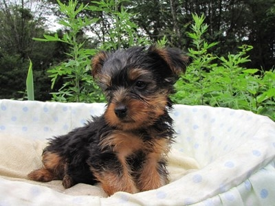 ヨークシャーテリアの子犬(ID:1232811020)の4枚目の写真/更新日:2014-07-12