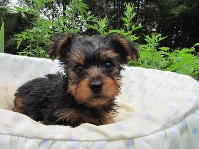 ヨークシャーテリアの子犬(ID:1232811020)の5枚目の写真/更新日:2014-07-12