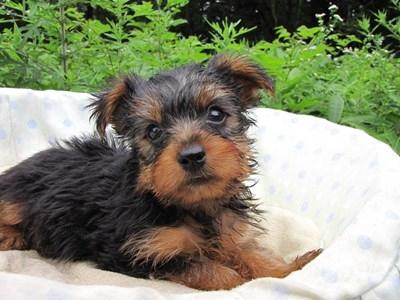 ヨークシャーテリアの子犬(ID:1232811020)の6枚目の写真/更新日:2014-07-12