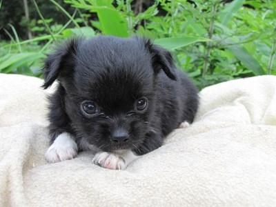 チワワ(ロング)の子犬(ID:1232811021)の1枚目の写真/更新日:2014-06-26