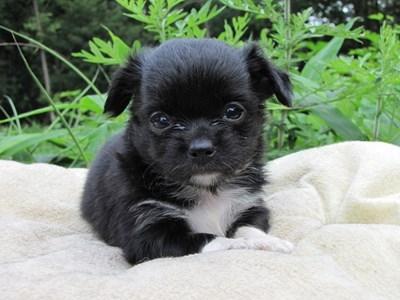 チワワ(ロング)の子犬(ID:1232811021)の2枚目の写真/更新日:2014-06-26