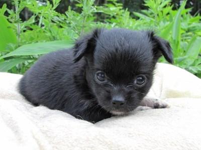 チワワ(ロング)の子犬(ID:1232811021)の3枚目の写真/更新日:2014-06-26