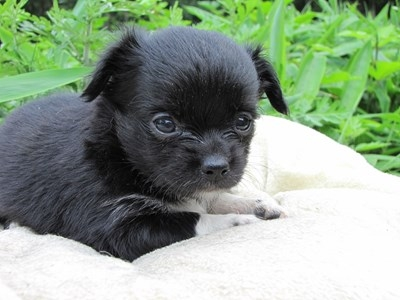 チワワ(ロング)の子犬(ID:1232811021)の4枚目の写真/更新日:2014-06-26