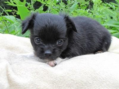 チワワ(ロング)の子犬(ID:1232811021)の5枚目の写真/更新日:2014-06-26