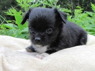 チワワ(ロング)の子犬(ID:1232811021)の6枚目の写真/更新日:2014-06-26