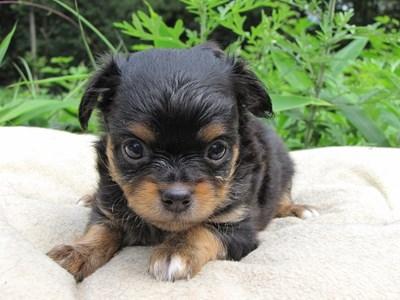 チワワ(ロング)の子犬(ID:1232811022)の1枚目の写真/更新日:2014-06-27
