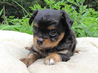 チワワ(ロング)の子犬(ID:1232811022)の2枚目の写真/更新日:2014-06-27
