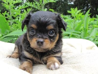 チワワ(ロング)の子犬(ID:1232811022)の3枚目の写真/更新日:2014-06-27