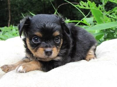 チワワ(ロング)の子犬(ID:1232811022)の4枚目の写真/更新日:2014-06-27