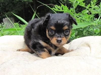 チワワ(ロング)の子犬(ID:1232811022)の5枚目の写真/更新日:2014-06-27