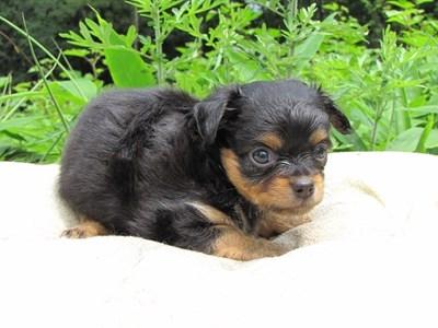 チワワ(ロング)の子犬(ID:1232811022)の6枚目の写真/更新日:2014-06-27
