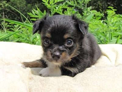 チワワ(ロング)の子犬(ID:1232811023)の1枚目の写真/更新日:2014-06-28