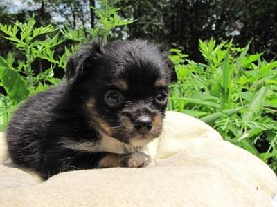 チワワ(ロング)の子犬(ID:1232811023)の2枚目の写真/更新日:2014-06-28