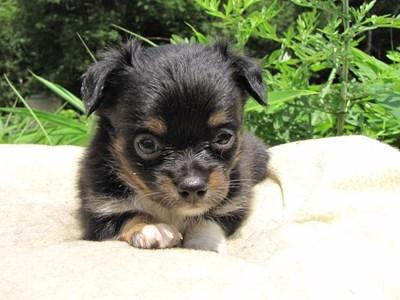 チワワ(ロング)の子犬(ID:1232811023)の3枚目の写真/更新日:2014-06-28